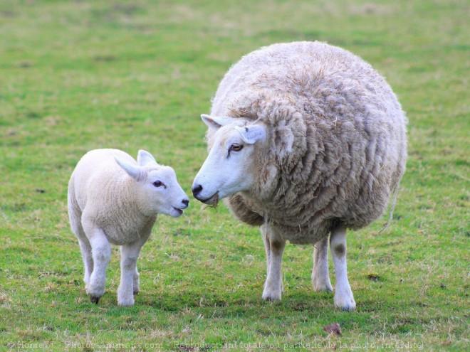 dreaming of sheep