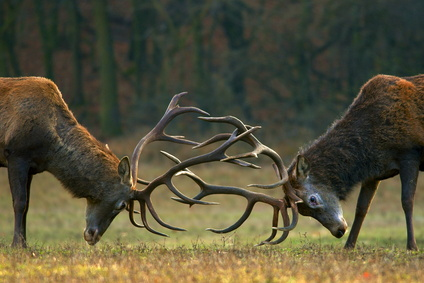 Dreaming of deer