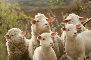 dream of sheep